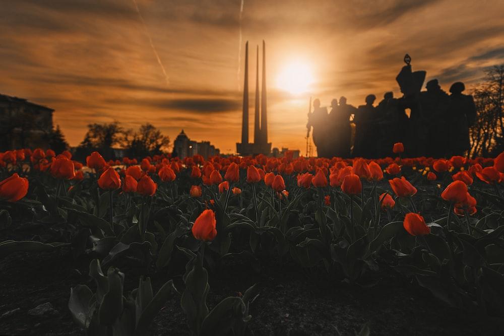 bed of orange tulip flowers