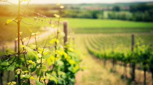 Love like a Vineyard