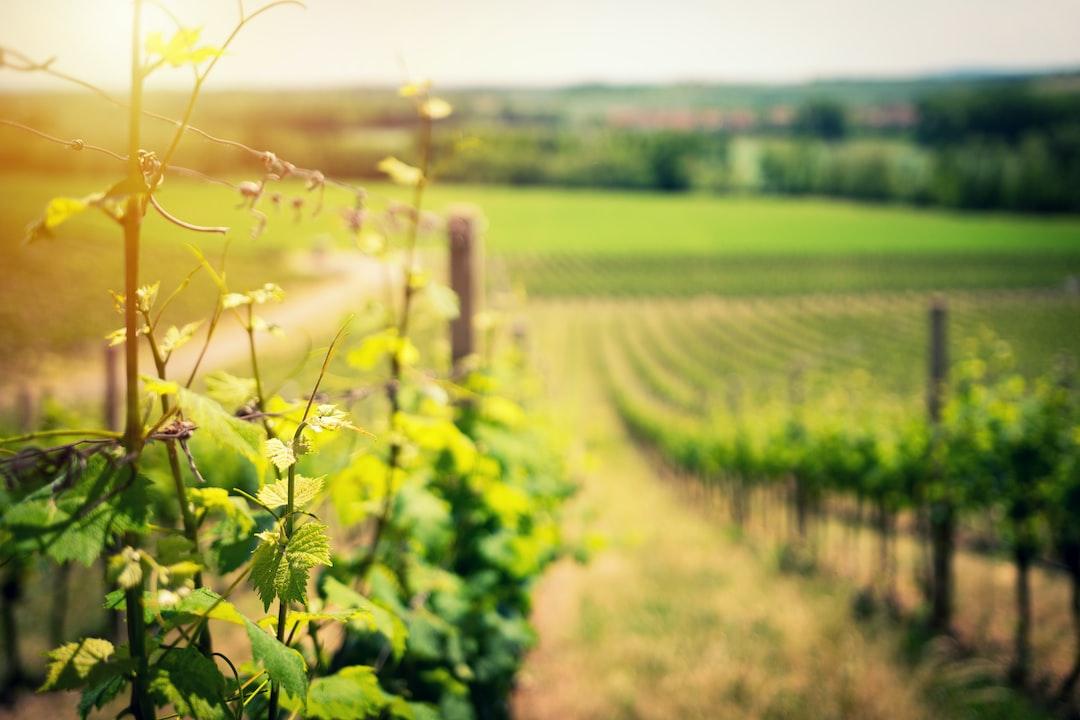 Vineyard's landscape in early summer.