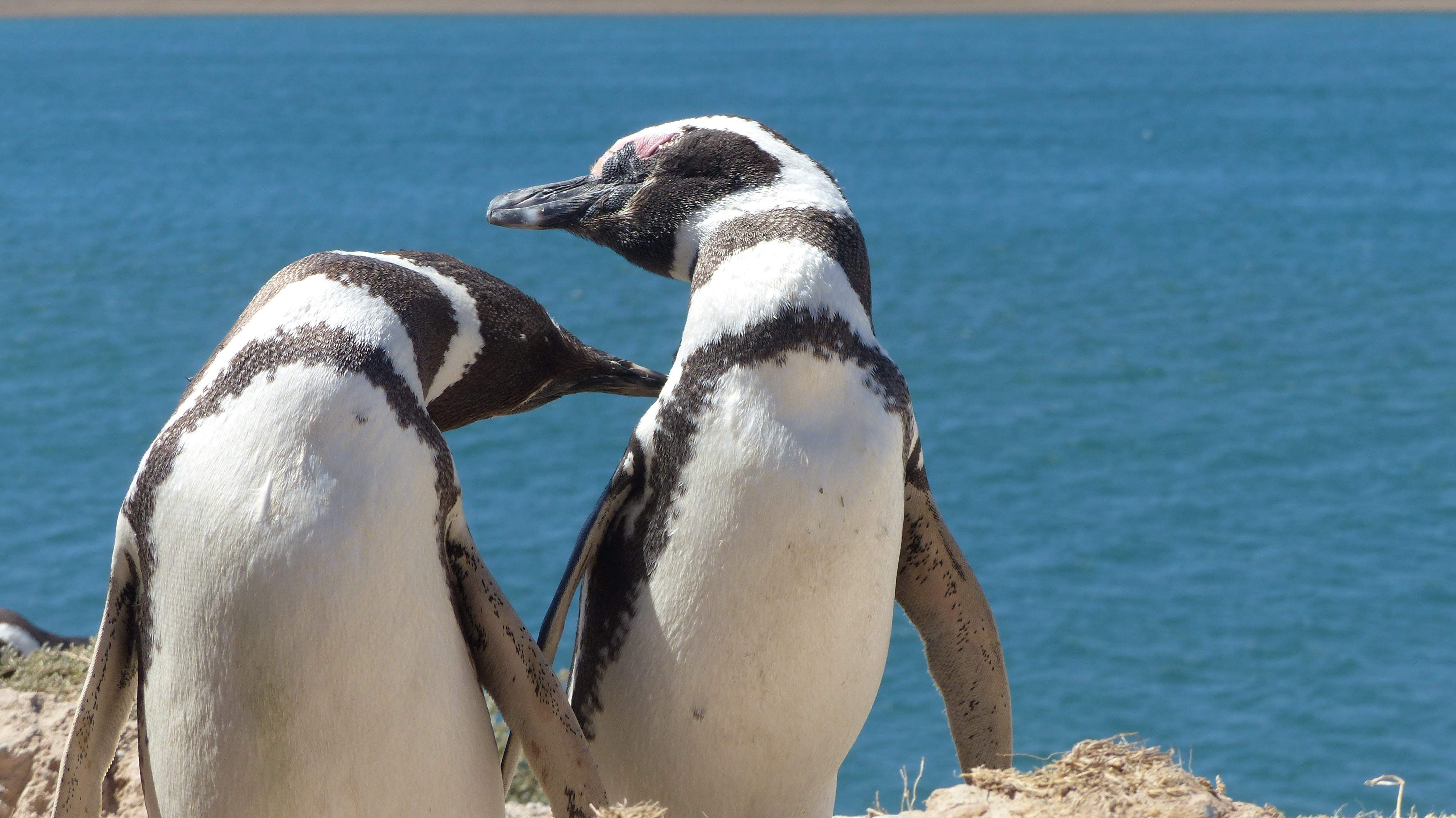 two white-and-black penguins on cliff