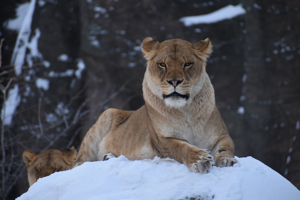 lioness on snow hill
