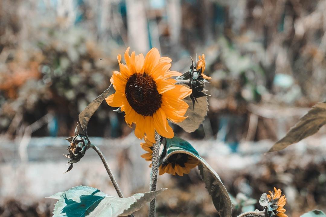 I always charge my camera and when I see a flower as beautiful as a sunflower, I should just take a moment and capture the moment.