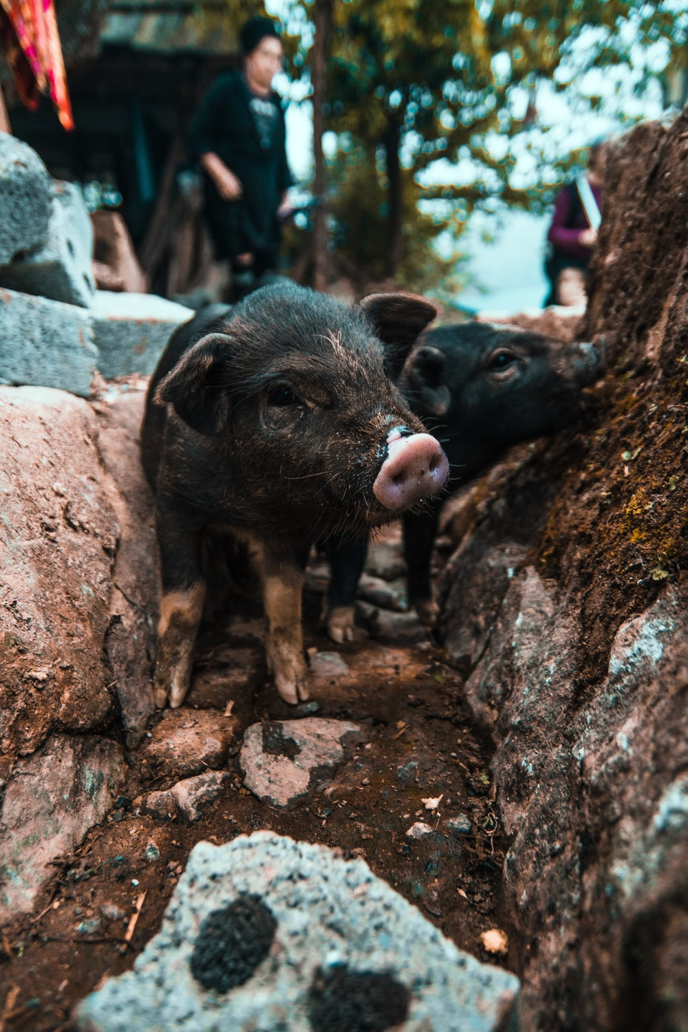 two black piglets during daytime
