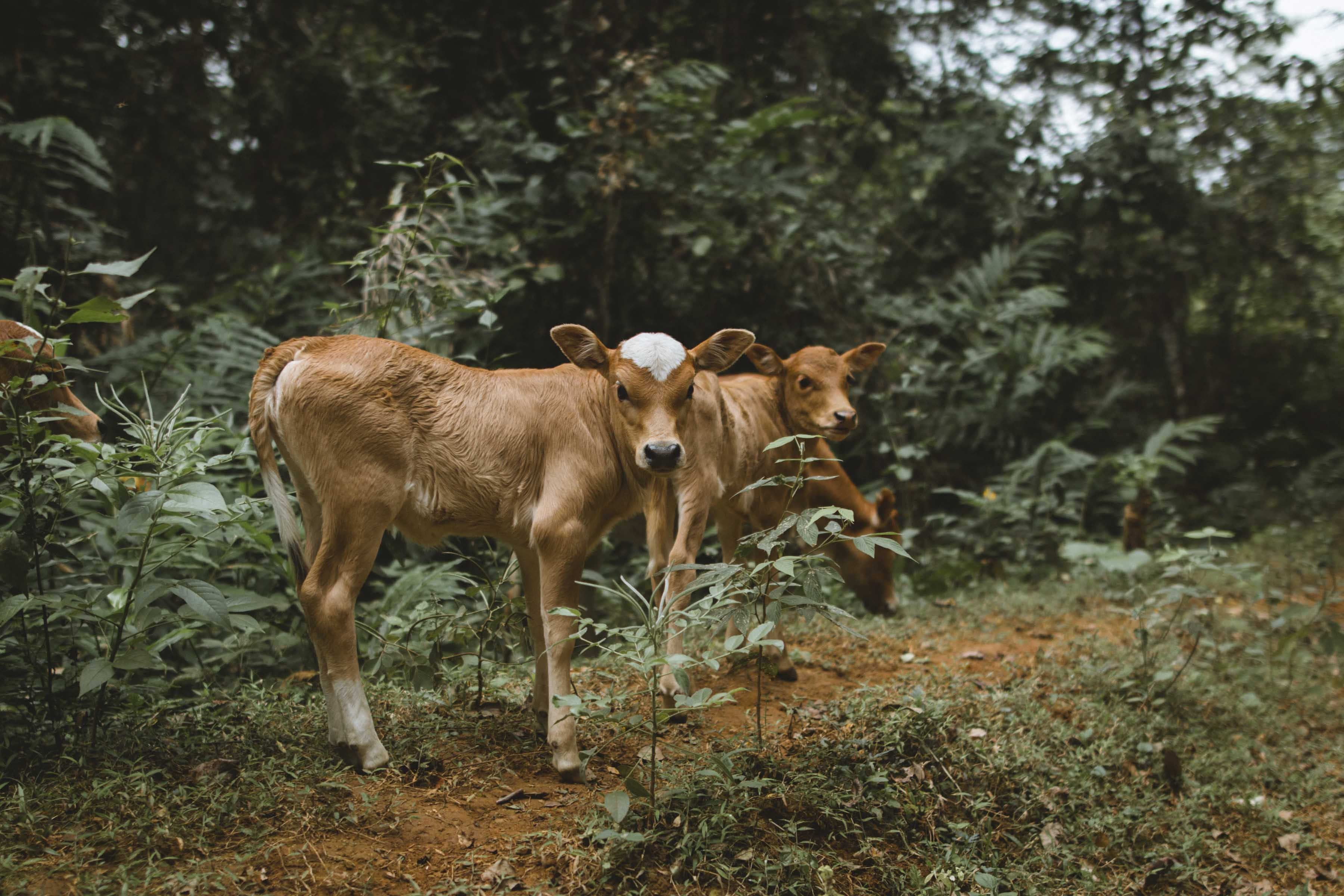 photography of two brown cows
