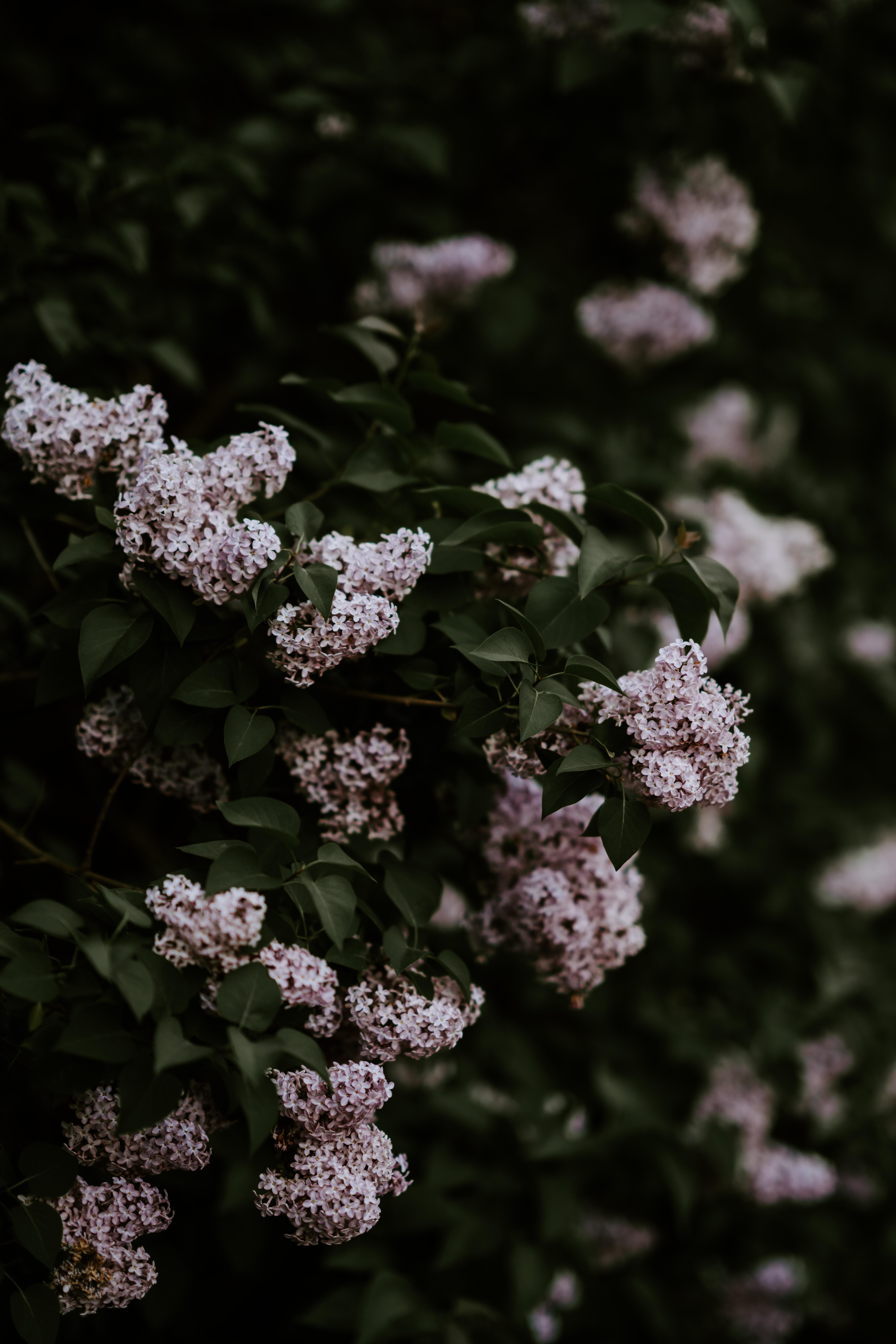 white hydrangeas flowers