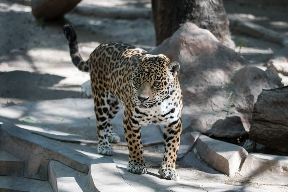 leopard walking on pavement