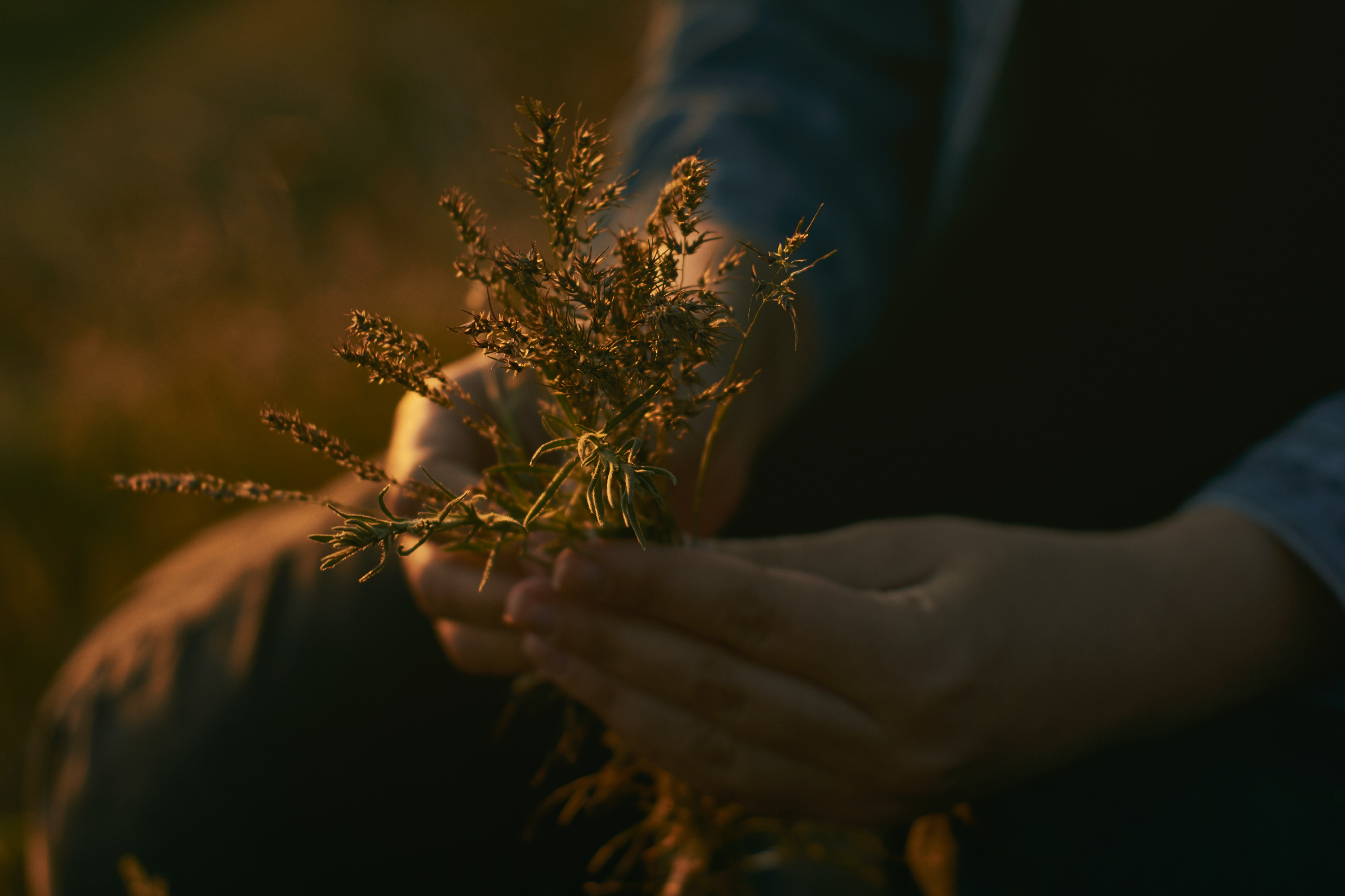 person holding brown plants