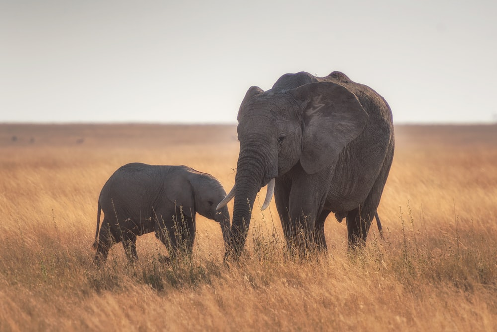 elephants standing on dried grass