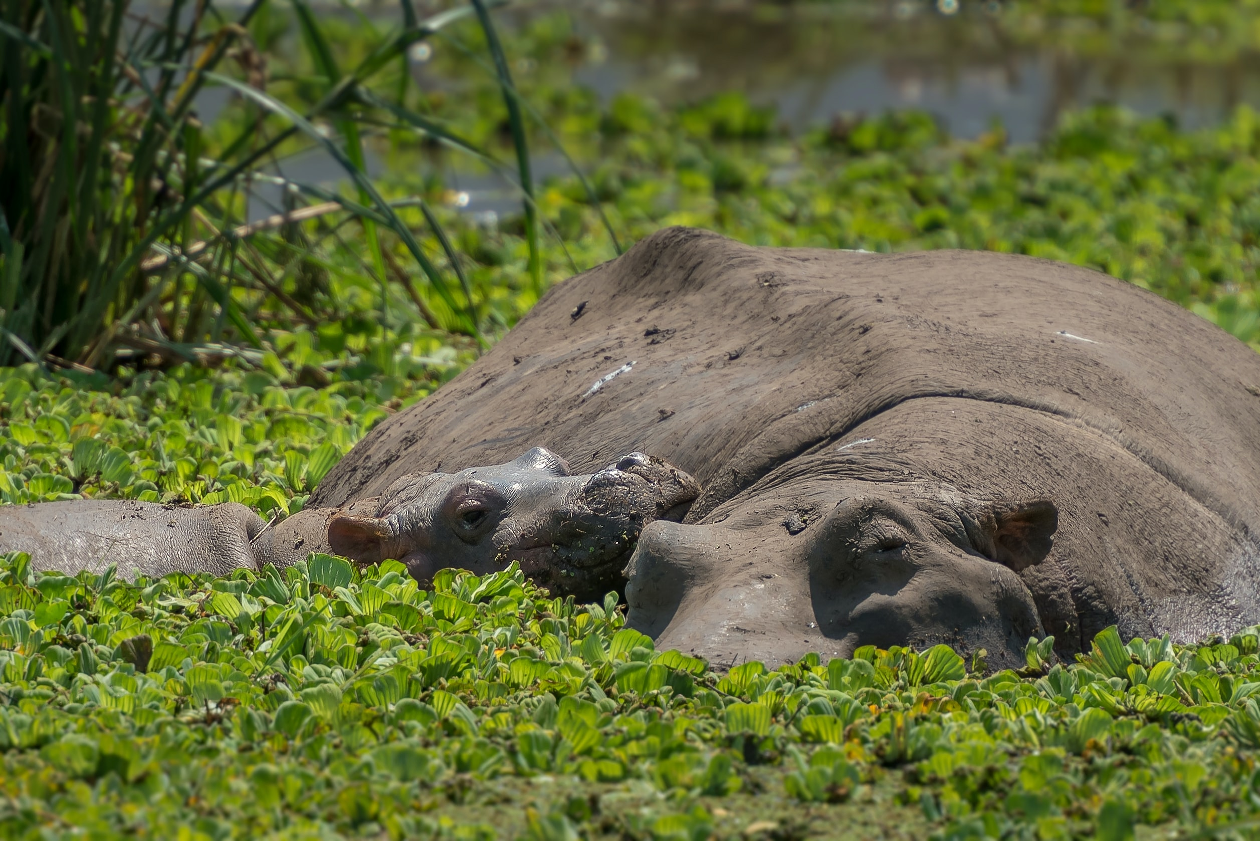 two brown hippopotamus in pond