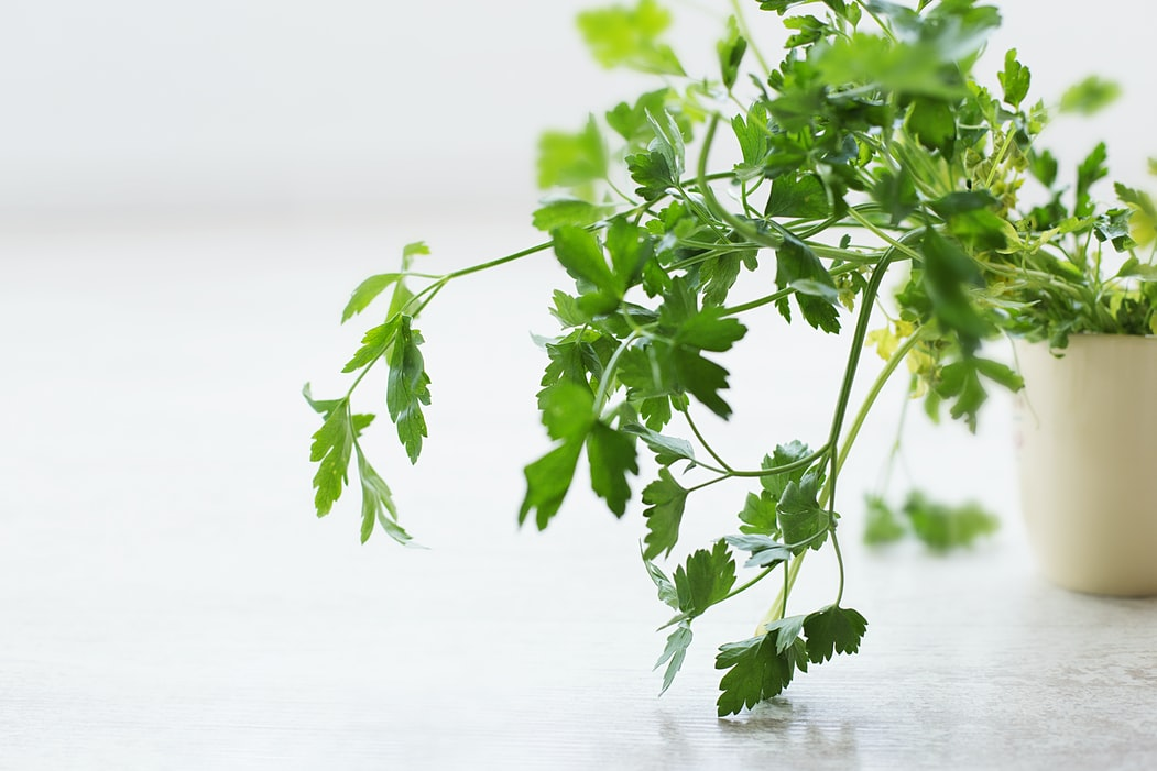 Tips for Growing Parsley All Year Round