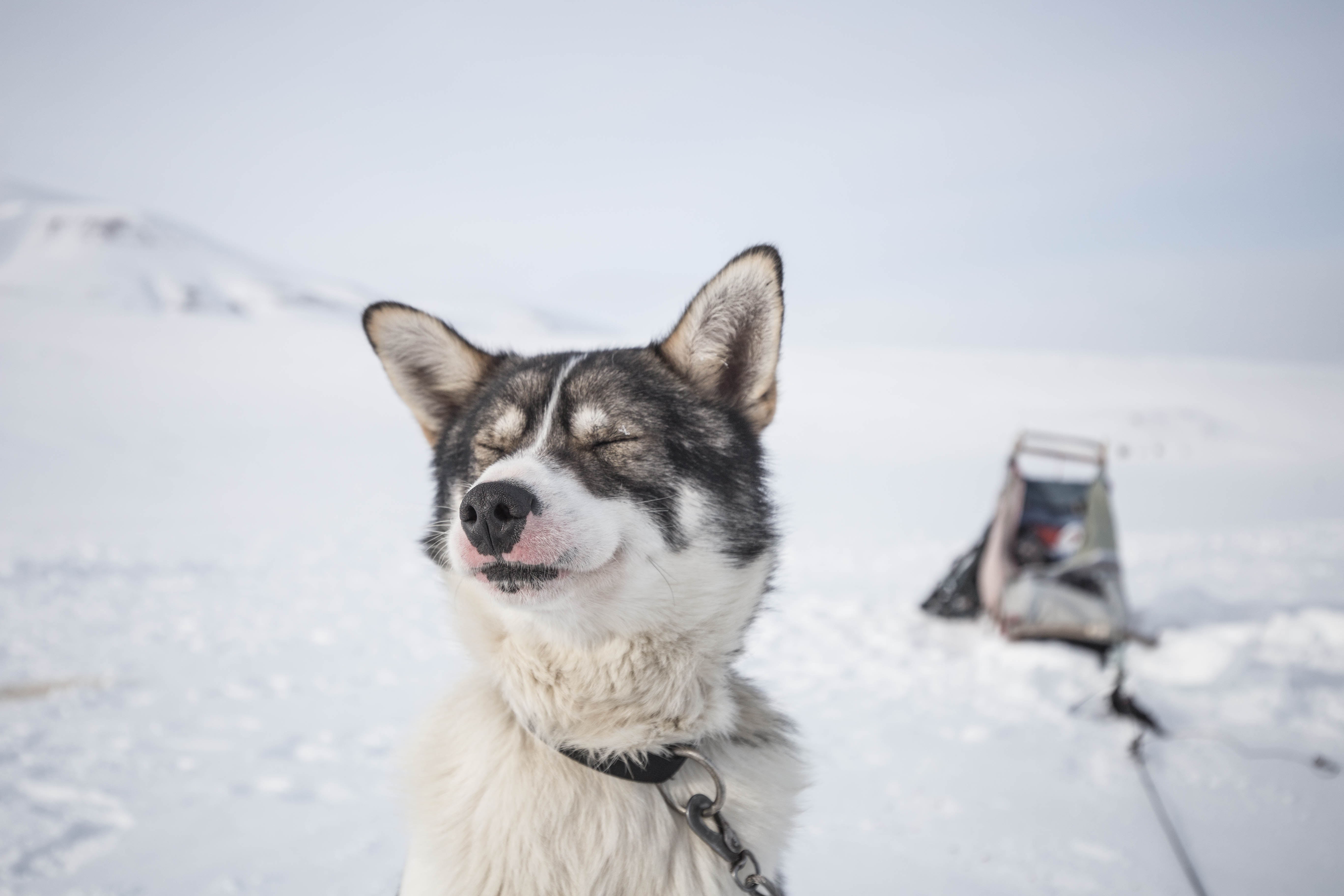 white and black dog with leash sitting on snowfield at daytime