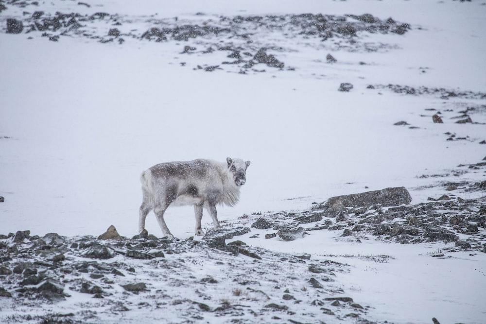 gray 4-legged animal on snow