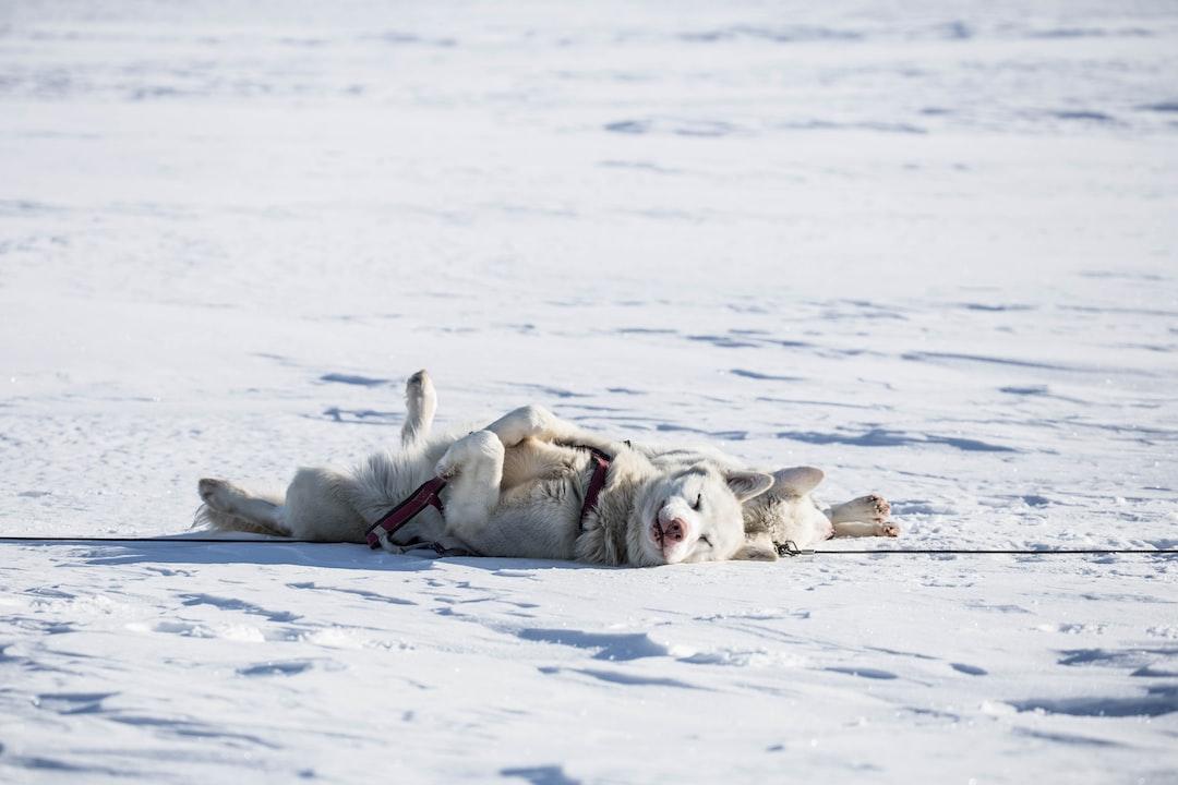 Sleeping alaskan huskies