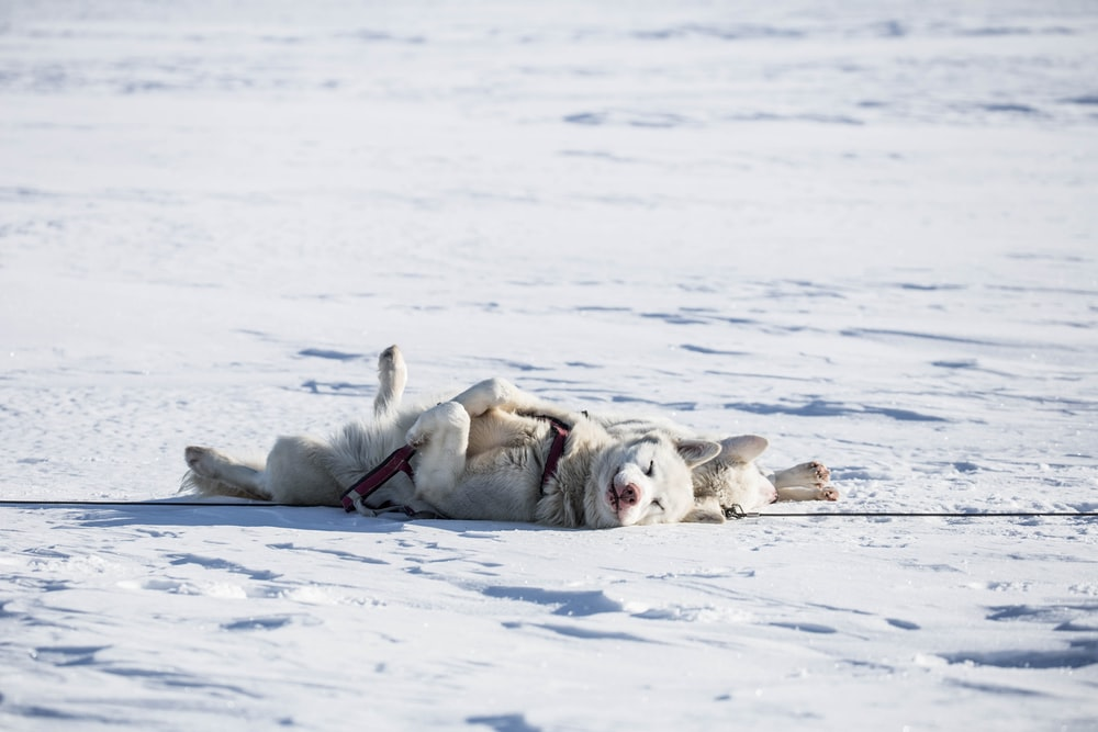 two white dogs lying on snow covered ground
