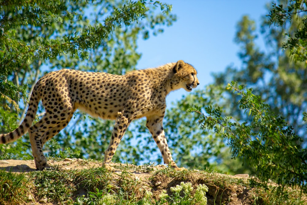 cheetah walking on large rock