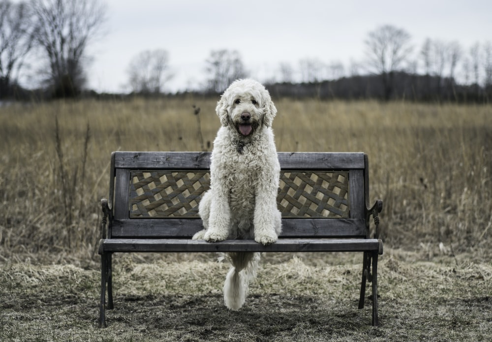 white Labradoodle sitting on brown wooden bench during daytime