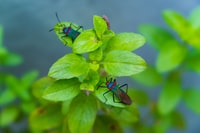 two green-brown-and-blue insects perching on green leaves in focus photography