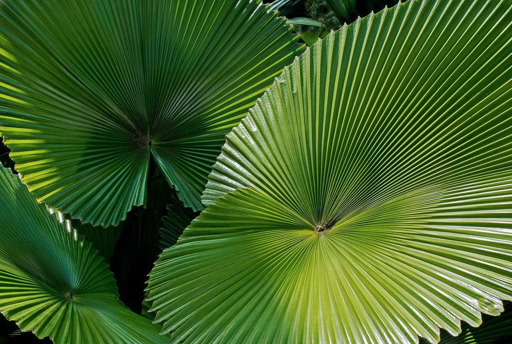 green fan leaf plants