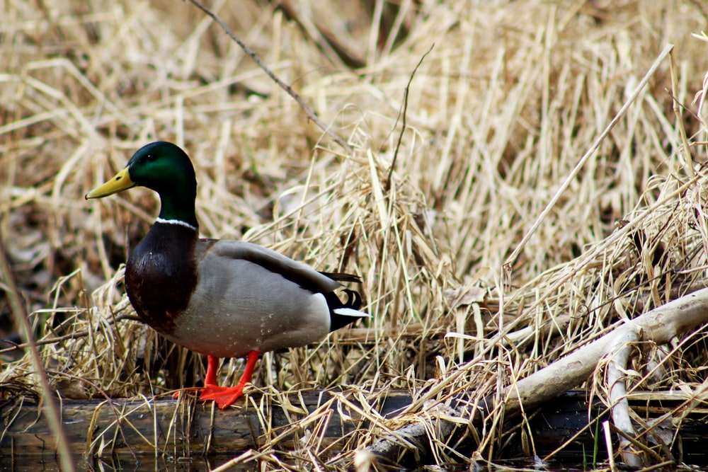 grey and green duck on grass