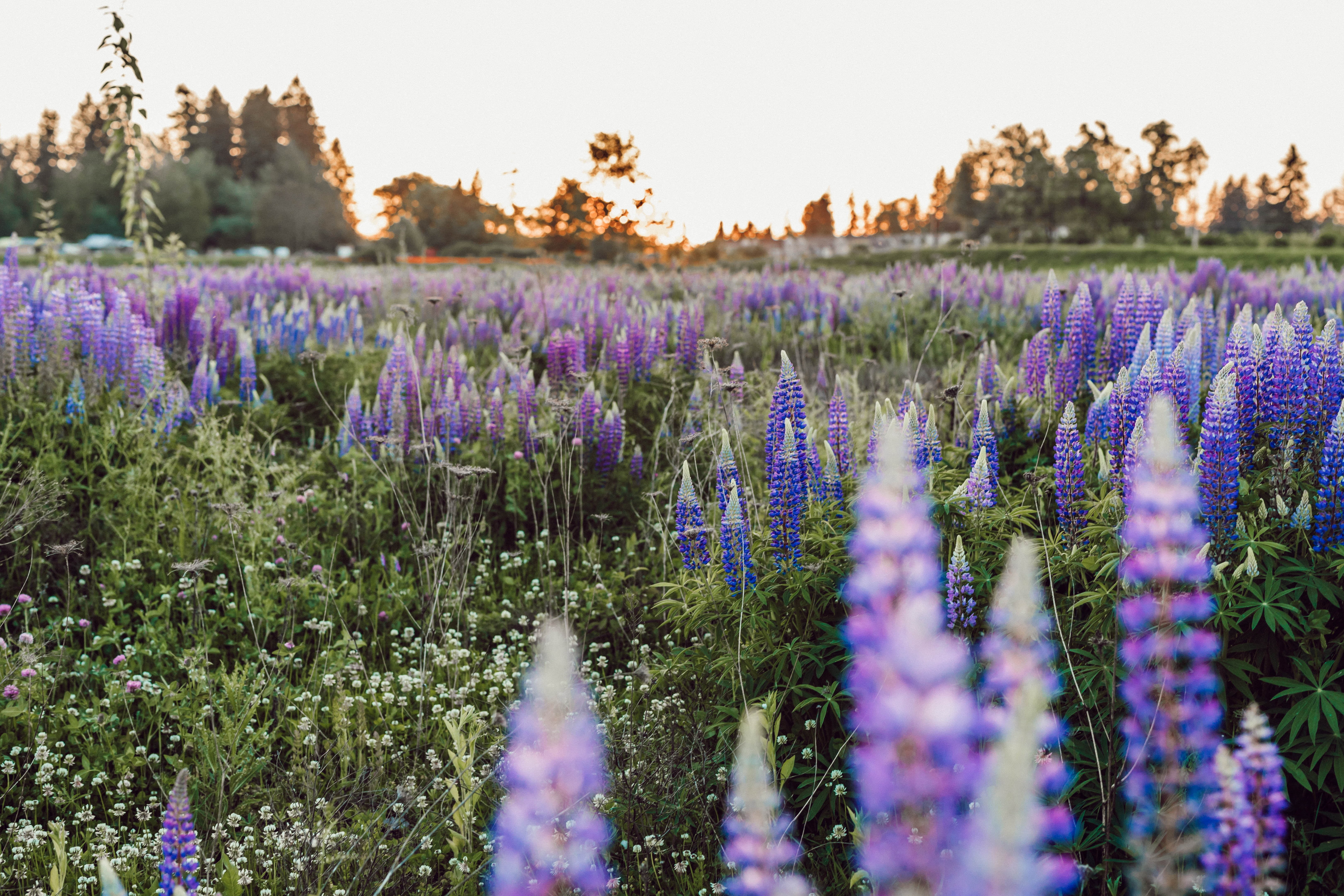 purple lavender meadow during daytime
