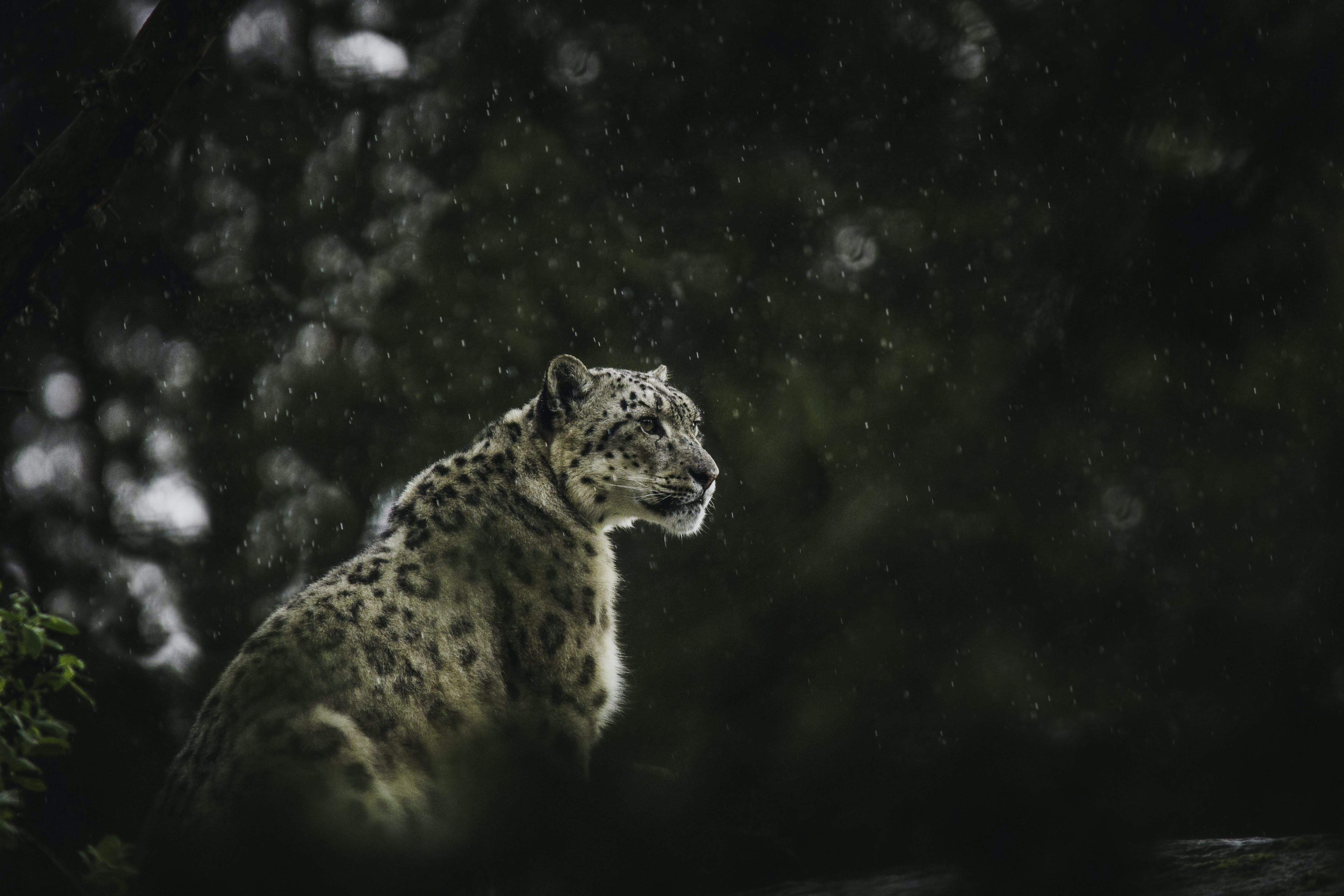 leopard looking at the right
