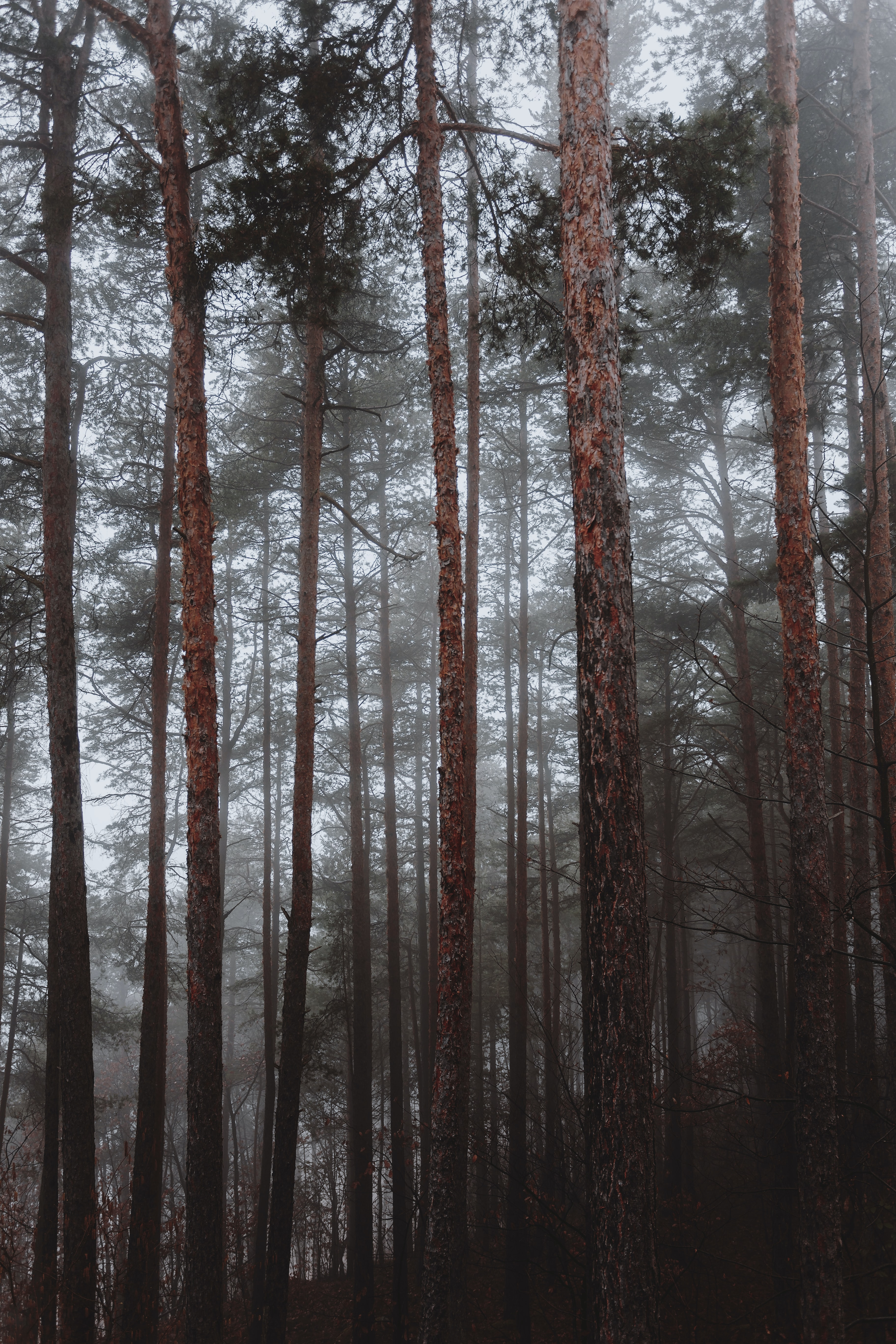 bunch of brown pine trees