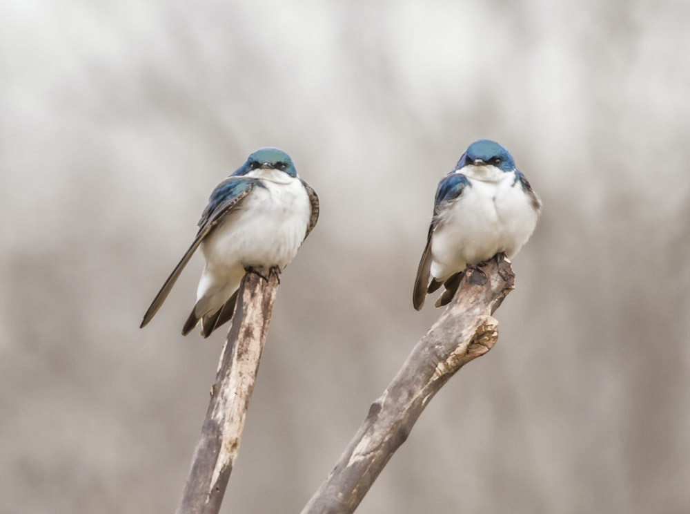 two blue birds on tree branch