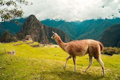 brown 4-legged farm animal standing on grass machu picchu teams background