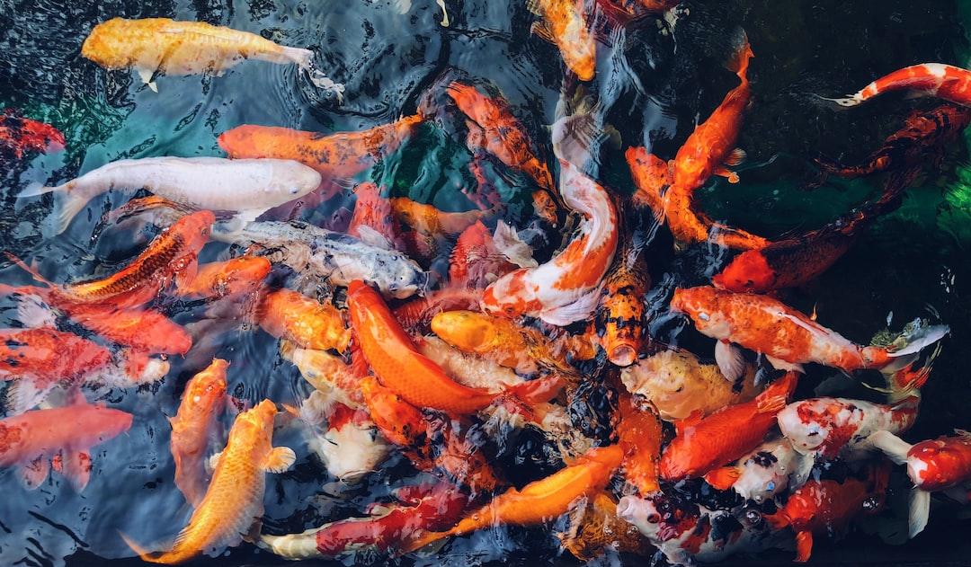 Mari Berbisnis Ikan Koi di Tengah Pandemi