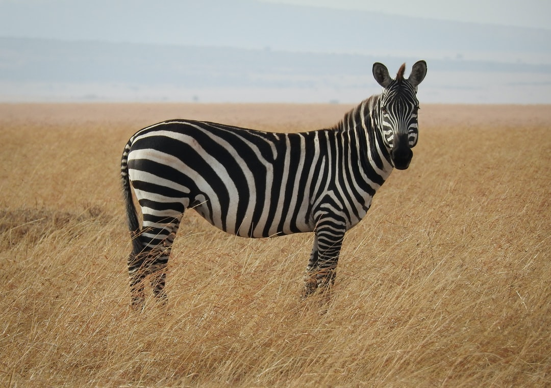 """""""On a photo safari in the Masai Mara, we stopped to enjoy the presence of this watchful zebra."""""""