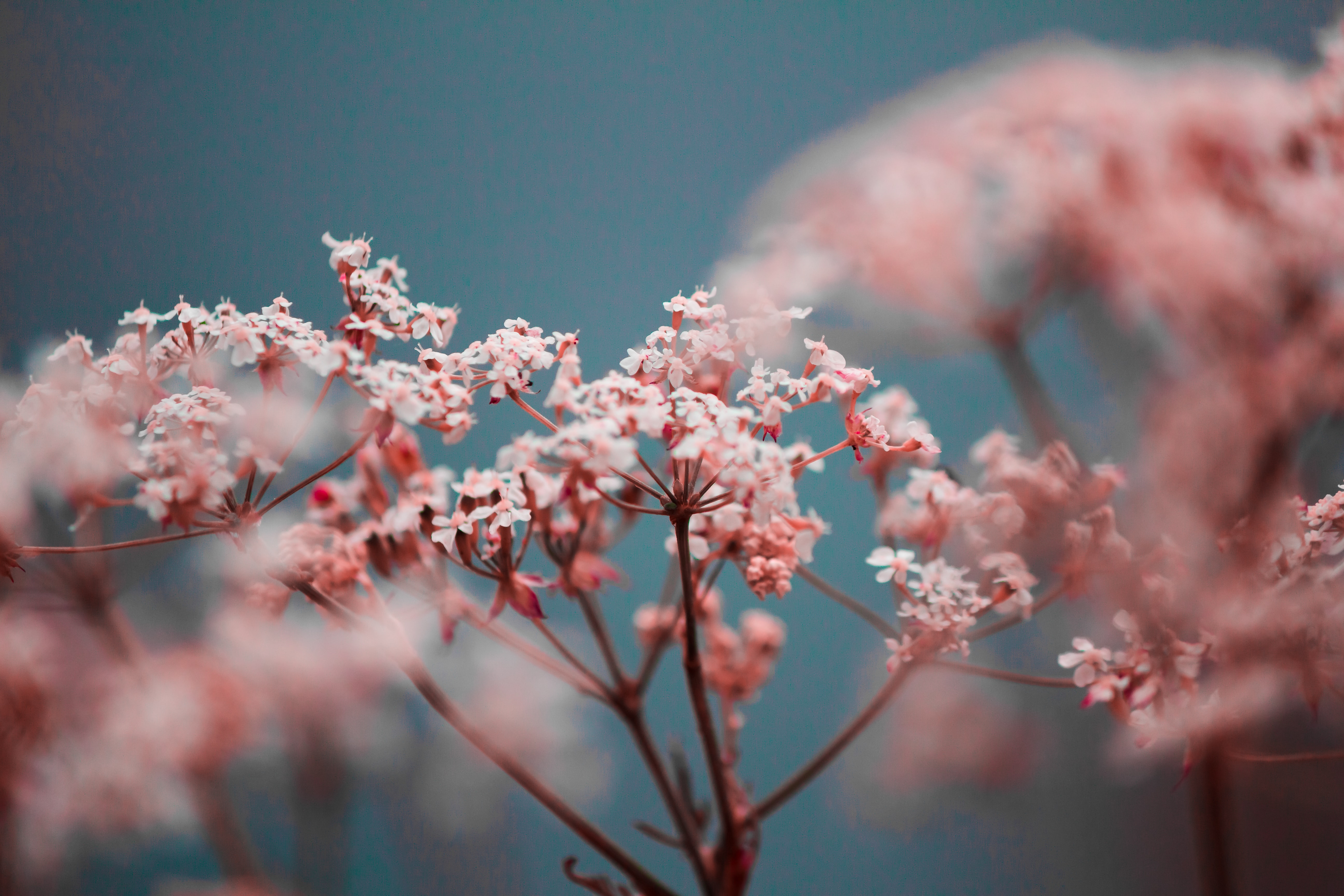 selective focus photography of pink petaled flowers