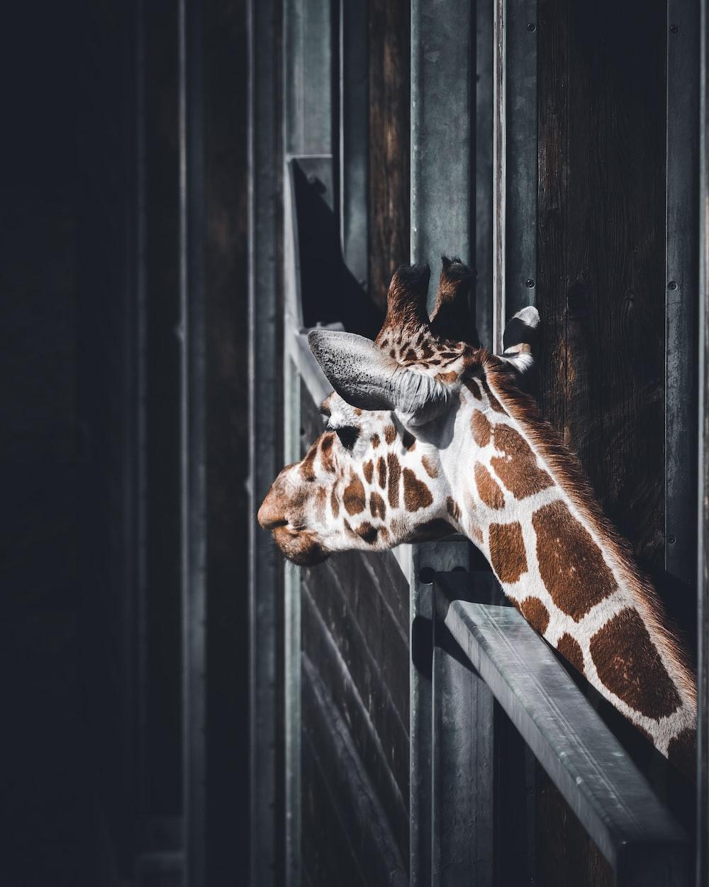 selective focus photograph of giraffe