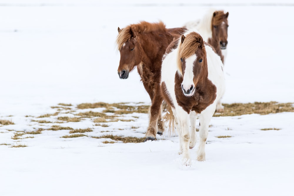 three brown-and-white horses on snow