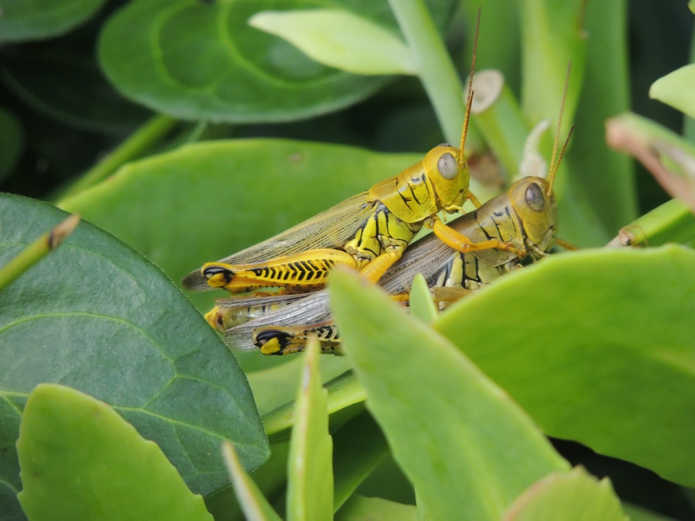 two grasshoppers on green leafed plant