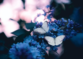 photo of three butterflies pollinating on purple petaled flowers