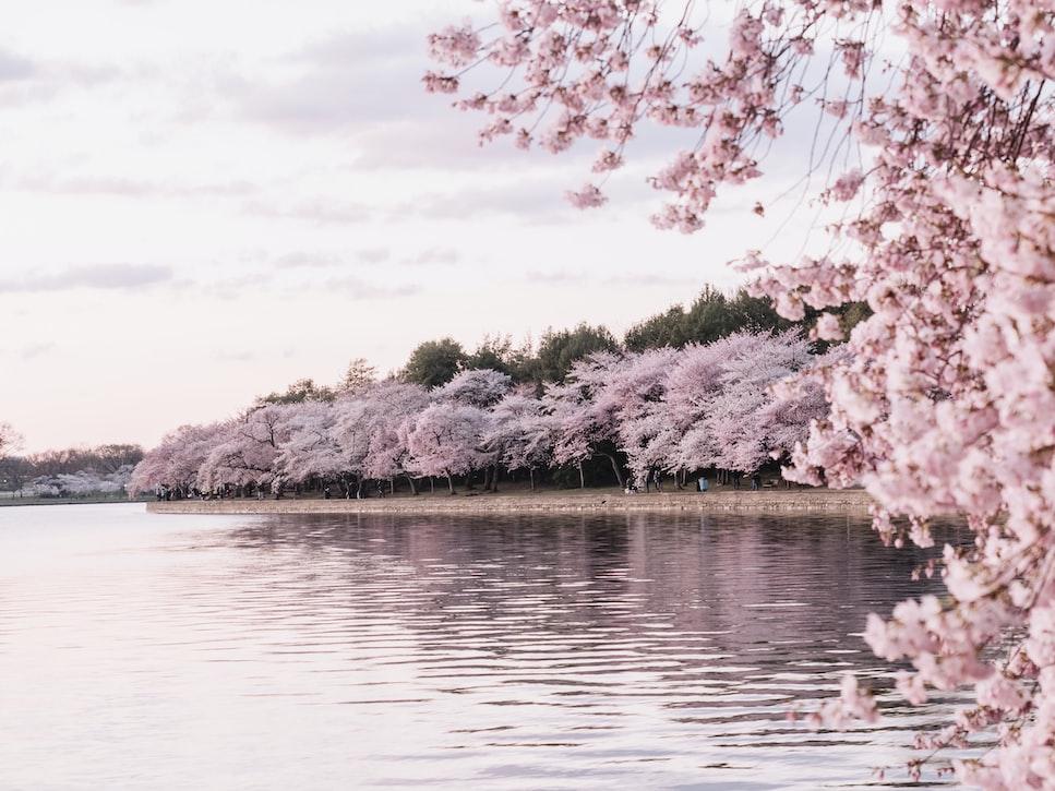 Bunga sakura yang bermekaran