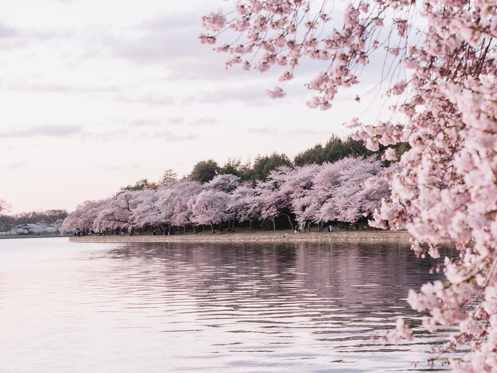 body of water beside cherry blossom trees