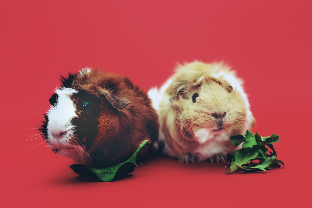 two brown and beige hamsters wallpaper
