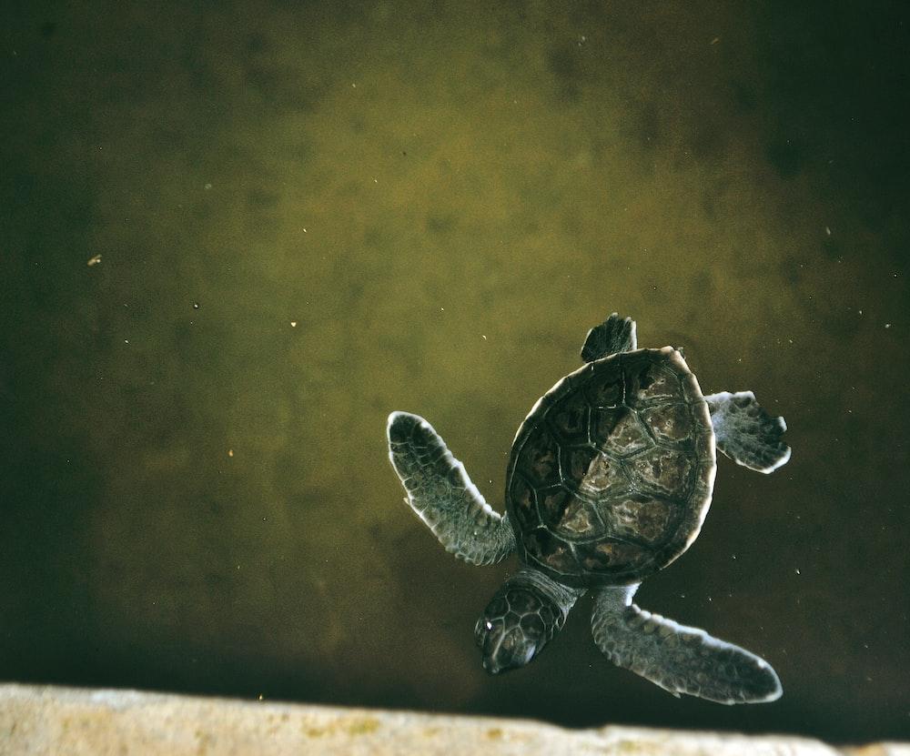 brown sea turtle in water