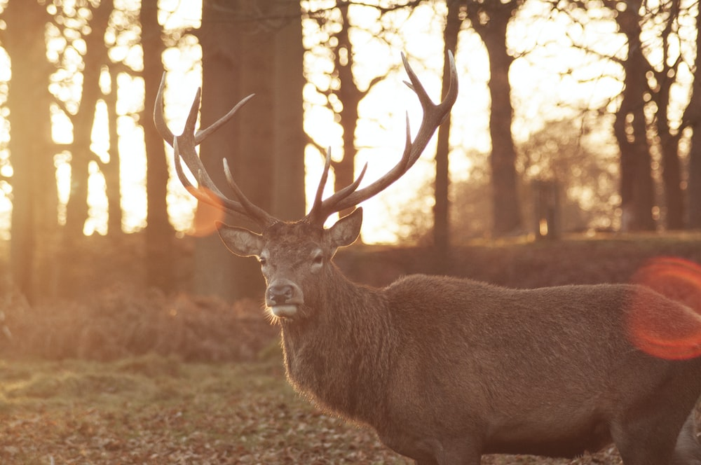 photo of brown buck on grass