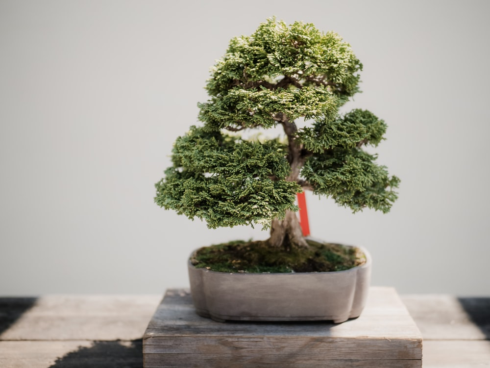 photo of green leafed bonsai plant on brown pot