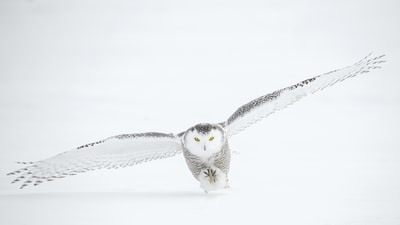 A snowy owl in the wintery landscape of Alberta, Canada photographed in -35 degree temperatures.