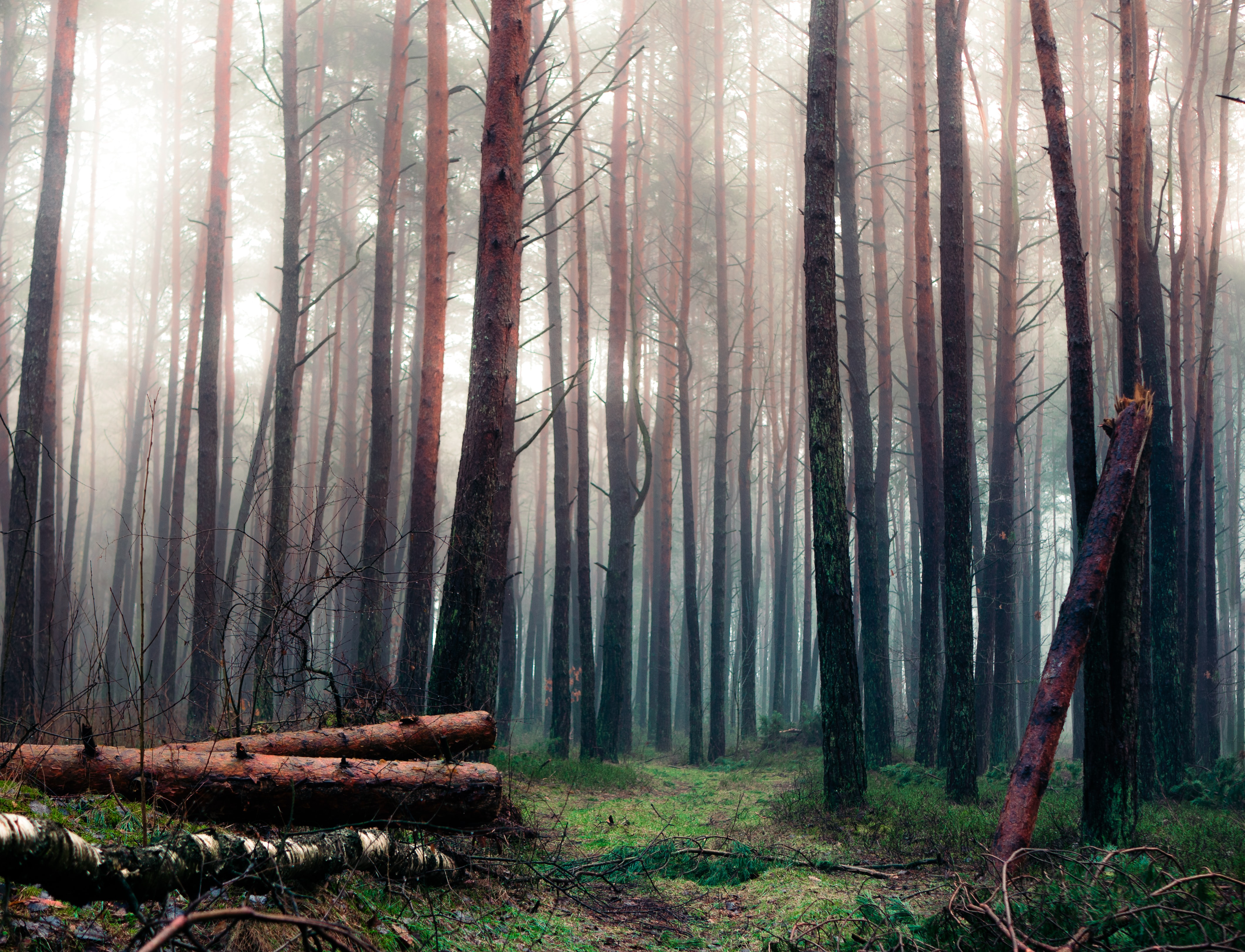 forest trees with fog