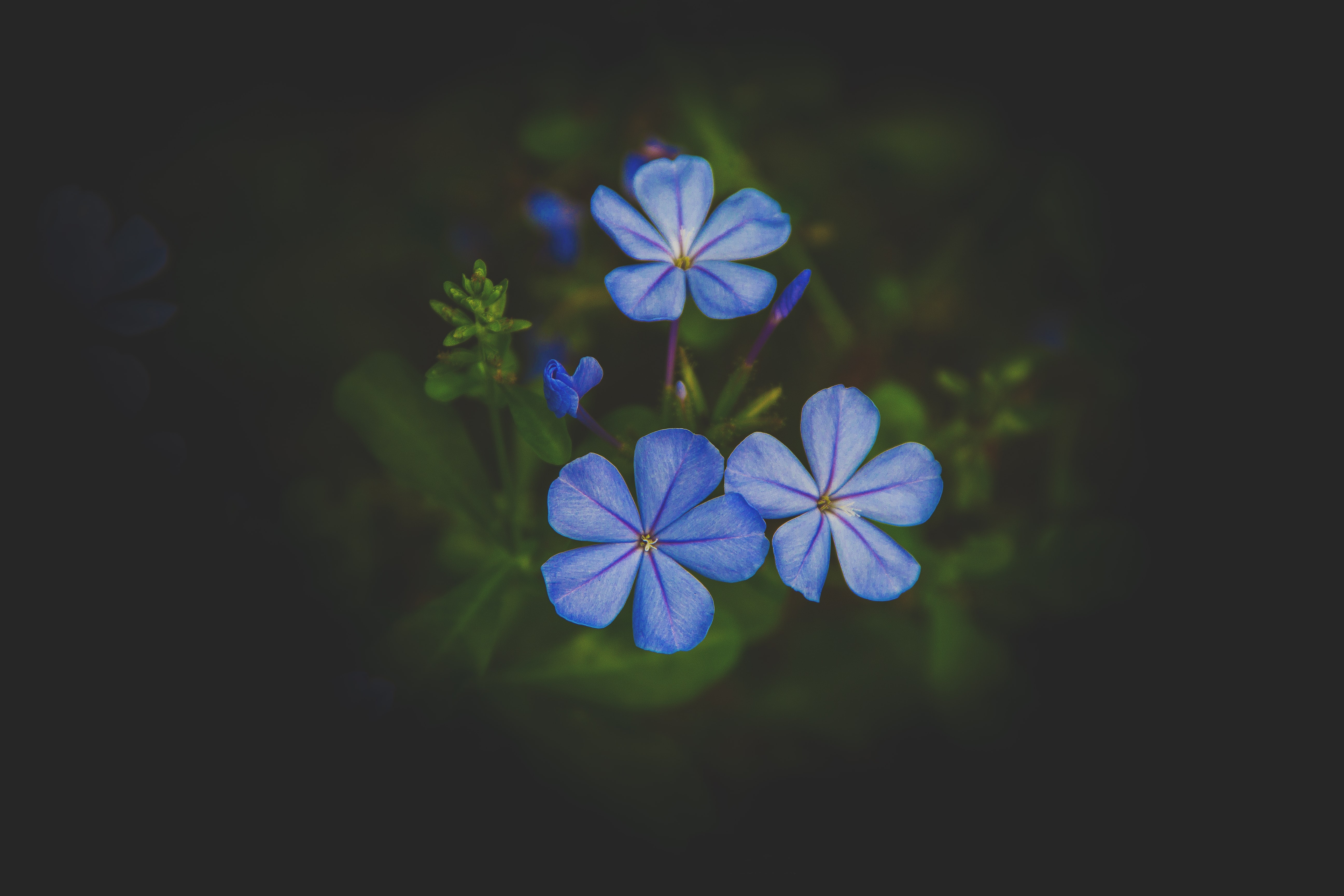 selective focus photo of three white-and-blue petaled flowers