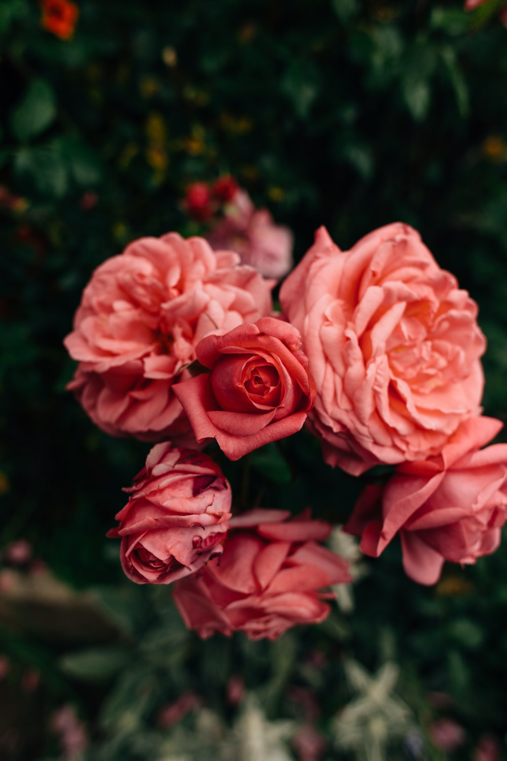 close up photography of pink rose