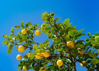 orange fruits under blue sky