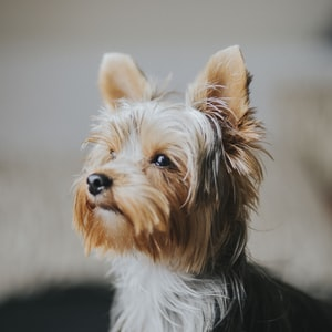 shallow focus photography of Yorkshire terrier