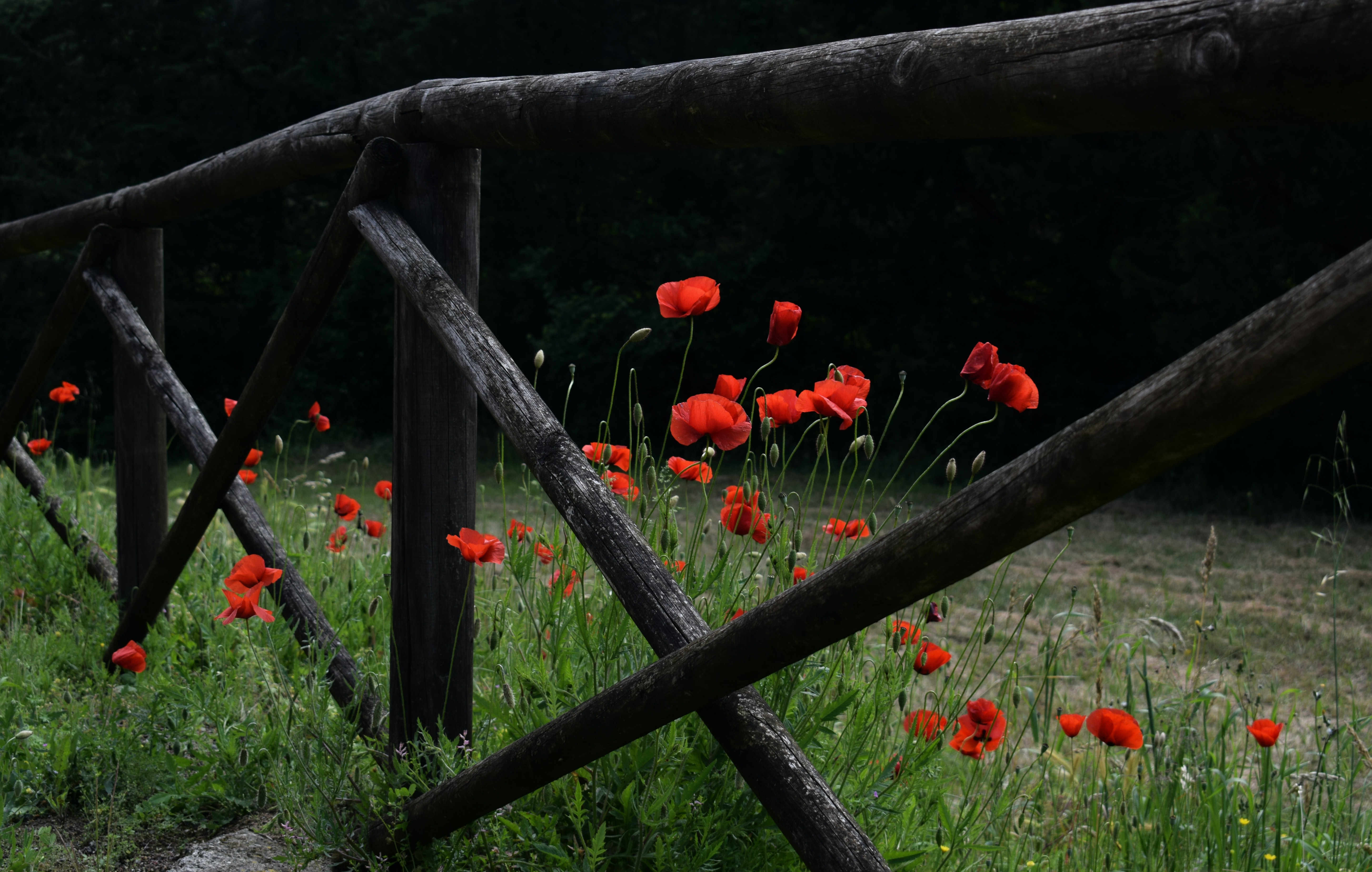 red petaled flowers near brown wooden fence