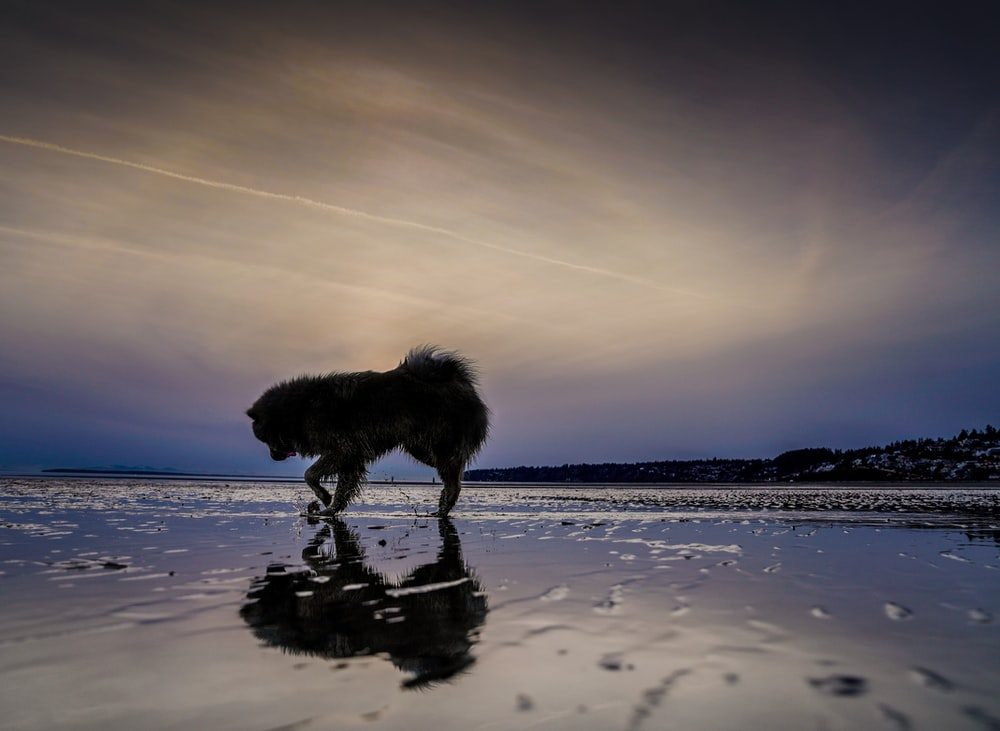 silhouette photo of dog near body of water