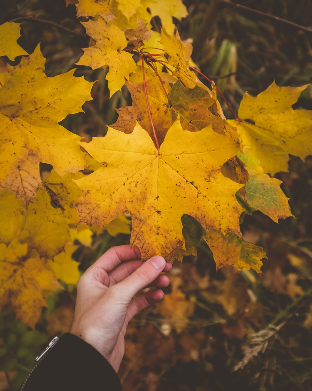 person holding yellow maple leaf's tip